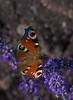 color over color 1 (nickneykov) Tags: nikon d750 nikond750 tamron 90mm tamron90mmvcmacro butterfly bulgaria colorfull chirpan macro lavender