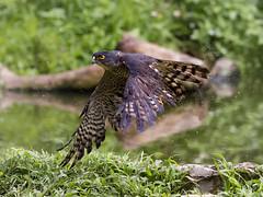 Eurasian sparrowhawk _ Dongguan ☺ (mahi mahi 163) Tags: sparrowhawk eagle 80400mm china