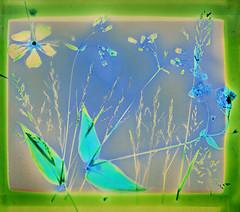 Solstice Lumen (Robert Drozda) Tags: fairbanks alaska lumen wildflower grass wildrose mertensia bluebells ilfordmgfbwarmtonepaper contactprint sunprint altphoto drozda