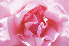 Romance 🌹 (Jeff Camphens) Tags: rose flower nature pink macro romance love petals petal nikon d3300 35mm extension tubes