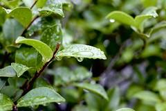 after rain (ababhastopographer) Tags: camellia leaves drop green 椿 ツバキ 葉 水滴 雨上がり 近所 neighborhood