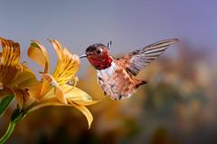 In!!! (Patricia Ware) Tags: 500mmf4lisusm allenshummingbird alstroemeria backyard birdsinflight california canon manhattanbeach multipleflash selasphorussasin tripod ©2018patriciawareallrightsreserved specanimal sunrays5