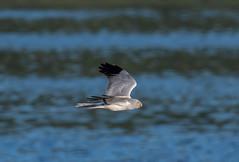 Hen Harrier (Male) 28-06-2018-6151 (seandarcy2) Tags: birds prey raptors bif harrier hen male wildlife mull uk