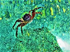 Psychedelic crab (thomasgorman1) Tags: crab water sea green ocean pool tidal wildlife sealife fujifilm colors hawaii island kona floating nature