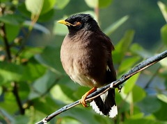 Puffed - Common Myna - in the drizzle - Western Himalayas ~2050m Alt (forest venkat) Tags: bird tree leaf forest raindrops rain drops drizzle drizzling