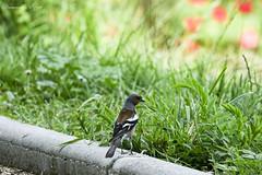 Pinsons des arbres mâle (7) (Ezzo33) Tags: france gironde nouvelleaquitaine bordeaux ezzo33 nammour ezzat sony rx10m3 parc jardin oiseau oiseaux bird birds specanimal pinsons des arbres chaffinches