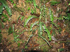 Pellaea nana 4 (barryaceae) Tags: copeland tops sca nsw australia australianrainforestplants australianferns australian rainforest plants species ferns ausrfps ausferns pteridaceae