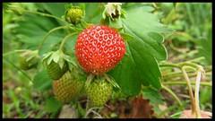 Ripen up! (Pá-ric) Tags: strawberry erdbeer natur nat nature ourbackgarden gardenalive garden garten