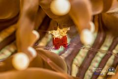 MUSHROOM CORAL SHRIMP (Sonja Ooms) Tags: anilao animal coral cuapetes cuapeteskororensis kororensis lembeh macro mushroomcoralshrimp nature philippines popcorn popcornshrimp shrimp straits underwater water white mushroom red