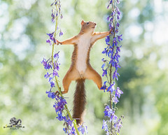 Red squirrel balancing between a Delphinium flower (Geert Weggen) Tags: beauty blossom blue closeup colorimage delphinium extremecloseup field flower flowerhead flowerbed fragility greencolor growth herb leaf multicolored nature nopeople outdoors perennial petal photography plant publicpark scenicsnature season spice springtime summer vertical vibrantcolor eurasianredsquirrel autumn animalwildlife animalsinthewild winter woodland squirrel rodent mammal garden split spread yoga reaching bispgården jämtland sweden geert weggen ragunda