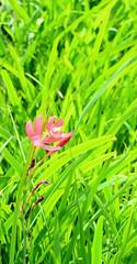 Pink flower (FanDabbyDavey) Tags: pink green d3100
