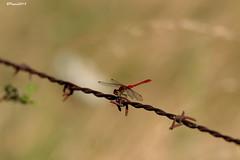 Sympetrum sanguin / Sympetrum sanguineum HFF (BPBP42) Tags: libellules insectes nature animaux dragonfly odonates