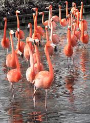 'It's this way' (mahazda) Tags: flamingos flamingoes zoo birds wading mahazda canon pink salmon water legs chester