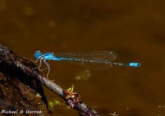 Azure Bluet, male (mghornak) Tags: azurebluet damselfly ponddamselfly insect wildlife nature pond canon canoneos7dmarkii