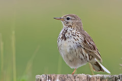 Meadow Pipit (drbut) Tags: meadowpipit anthuspratensis bird birds post avian nature wildlife pipits canonef500f4lisusm