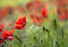 Shooting the Breeze (Tracey Whitefoot) Tags: 2018 tracey whitefoot june poppy poppies shooting breeze flower flowers abstract nottinghamshire notts blidworth spring springtime red pretty landscape