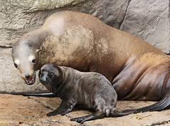 californian sealion Blijdorp JN6A8861 (j.a.kok) Tags: sealion californischezeeleeuw californiansealion zeeleeuw animal mammal zoogdier dier blijdorp motherandchild moederenkind