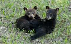 Black bear cubs (Guy Lichter Photography - 4.2M views Thank you) Tags: canon 5d3 canada manitoba wildlife animal animals mammals bears blackbear cub cubs