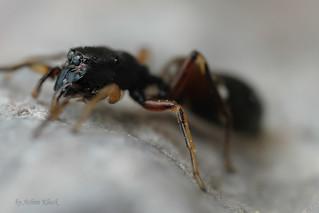 Ameisenspringspinne (Leptorchestes berolinensis) in Abwehrhaltung