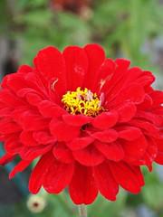 Z for Zinnias, pink or red (AMoska) Tags: natureza nature flora flores flowers zinia zinnia