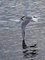 Terns Take-Out (SGarriott) Tags: sgarriott scottgarriott olympus omd em5ii 40150mmf28 nature animal bird tern fly flight bif fishing fish norway norge water wing arctictern