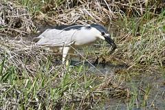 2017 Black-crowned Night Heron 11 (DrLensCap) Tags: blackcrowned night heron ledge road horicon marsh national wildlife refuge waupun wisconsin wi bird robert kramer