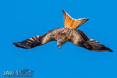 Red kite-Milvus milvus diving for a catch_9985 (George Vittman) Tags: bird kite raptor protectedspecies nikonpassion wildlifephotography jav61photography av61 fantasticnature