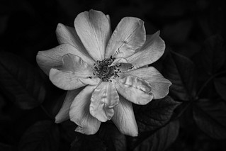 Yellow Rose in Black and White