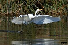 Great Egret (Ardea alba modesta) (Dave 2x) Tags: ardeaalbamodesta ardeaalba ardea modesta greategret great egret inflight mountannanbotanicgardens camden nsw australia leastconcern