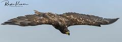 Wildlife @ Warwick Castle (rvk82) Tags: 2018 birds england june june2018 nikkor200500mm nikon nikond850 rvk rvkphotography raghukumar raghukumarphotography warwick warwickcastle wildlife rvkonlinecom rvkphotographycom rvkphotographynet unitedkingdom gb