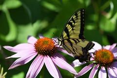 PAS_3637 (peterstratmoen) Tags: wildflowers nature naturebynikon