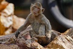 face to face (@Katerina Log) Tags: monkey animal attikazoopark wild wildlife mammal outdoor katerinalog sonyilce6500 nature natura depthoffield bokeh portrait