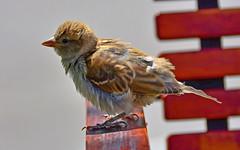 Jeune moineau pas farouche (Diegojack) Tags: morges vaud suisse d7200 nikon nikonpassion oiseaux moineaux jeune