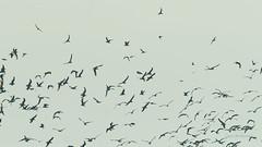 _DSC3376.jpg (fotolasse) Tags: sonyölandormvråkfåglar öland natur kalmar ottenby långejan fyr canon sony bird birds fåglar vatten hav water sea sweden sverige
