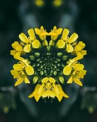 Nadeshda (Aall Tibb) Tags: canon t3i 600d flowers flower flor rose rosa solo mirror simmetry symetry verde light luz tunja boyaca colombia canon600d canont3i lightroom photoshop yellow amarilla floramarilla aalltibb