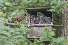Kestrel (Falco tinnunculus) (phil winter) Tags: kestrel falcotinnunculus female 4chicks vole