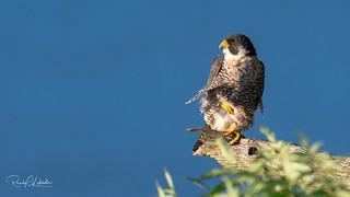 Peregrine Falcon - Falco peregrinus | 2018 - 2