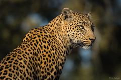 Lady Kanana (He Ro.) Tags: 2018 africa afrika botswana kanana kananaconcession okavangodelta southernafrica femaleleopard leopardess animal predator mammal pantherapardus felidae katzen big5 carnivore beautiful nature wild wilderness safari specanimal portrait
