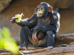 Chimpanzee eating salad (Tambako the Jaguar) Tags: chimpanzee chimp primate monkey ape young male sitting eating holding salad vegetable food log branch wood portrait loroparque tenerife spain nikon d5