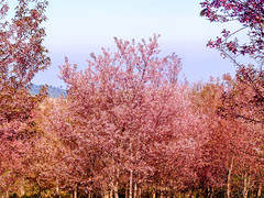 Wild Himalayan Cherry in thaialnd (www.icon0.com) Tags: pink thailand cherry tree blossom season bloom sakura nature background winter travel flower wildhimalayancherry branch prunus japanese petal colorful blossoming blooming spring rosaceae species yedoensis magnoliopsida magnoliophyta