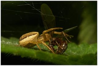 Crab Spider.