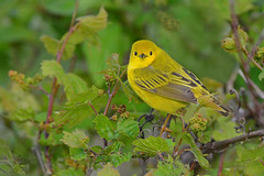 YellowWarblerVeggieGreenPlus (Rich Mayer Photography) Tags: yellow warbler warblers nature wild life wildlife bird birds animal animals fly flying flight perch avian nikon
