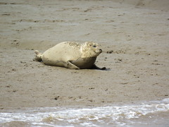 Harbor seal (Phoca vitulina) (marksargeant57) Tags: mammal mudflat seal commonseal canonpowershotsx60hs saltwater rspbframptonmarsh rspb framptonmarsh phocavitulina thewash harborseal