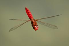 Feuerlibelle (Crocothemis erythraea) 4988 (fotoflick65) Tags: crocothemis erythraea fotoflick65 d7100 tamronspaf150600mmf563divcusd tamron sp tamronsp150600mmf563divcusdg2 ta150600 leopold kepplinger libelle libellulidae segellibelle odonata dragonfly feuerlibelle rot red imflug inflight insect insekt pichlingersee linz y2018 ym06 fliegende 32 ds groslibelle fl500 st1600 st16003200 f8 iso800 fd3m3 fd2b5 scarlet darter common commonscarletdarter fliegend austria österreich