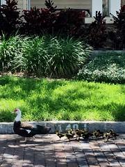 """Follow Mom!"" (st_asaph) Tags: crescentlake stpete ducklings duck"