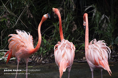 Flamingos - Jurong Bird Park, Singapore (Naomi Rahim (thanks for 3.9 million visits)) Tags: flamingos birds pink singapore 2017 asia travelphotography travel nikon nikond7200 wanderlust nature wildlife jurong jurongbirdpark tropical sanctuary