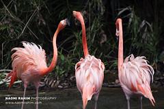 Flamingos - Jurong Bird Park, Singapore (Naomi Rahim (thanks for 4 million visits)) Tags: flamingos birds pink singapore 2017 asia travelphotography travel nikon nikond7200 wanderlust nature wildlife jurong jurongbirdpark tropical sanctuary