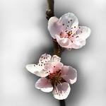 Prunus blossoms. thumbnail