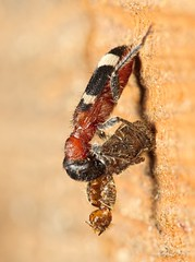 Thanasimus formicarius (kahhihou) Tags: taxonomy:kingdom=animalia animalia taxonomy:phylum=arthropoda arthropoda taxonomy:subphylum=hexapoda hexapoda taxonomy:class=insecta insecta taxonomy:subclass=pterygota pterygota taxonomy:order=coleoptera coleoptera taxonomy:suborder=polyphaga polyphaga taxonomy:infraorder=cucujiformia cucujiformia taxonomy:superfamily=cleroidea cleroidea taxonomy:family=cleridae cleridae taxonomy:subfamily=clerinae clerinae taxonomy:genus=thanasimus thanasimus taxonomy:species=formicarius taxonomy:binomial=thanasimusformicarius pestrokrovečníkmravenčí thanasimusformicarius ameisenbuntkäfer europeanredbelliedclerid gemeinerameisenbuntkäfer