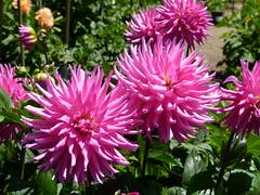 dahlias (Jef Poskanzer) Tags: flowers dahlias goldengatepark geotagged geo:lat=3777255 geo:lon=12245917 t